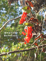 Mysteryberries